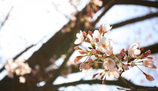 冬桜の花言葉と由来!四季桜など冬に咲く桜も1発チェック!!