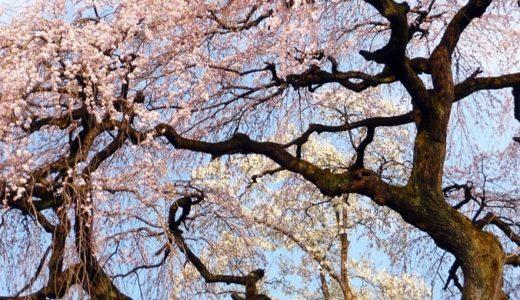 彼岸桜(ヒガンザクラ)の花言葉!名前の由来は開花時期が関係!?