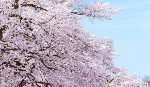 ソメイヨシノの花言葉はごまかし?花見前に2つの意味をチェック