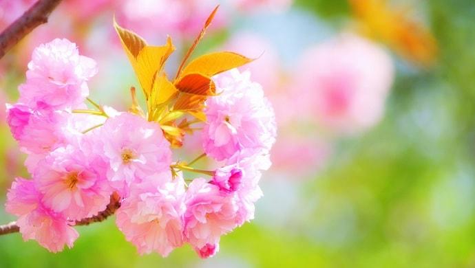 キレイなピンク色の八重桜