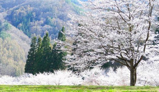 山桜の花言葉と由来!里桜との違いや知っておきたい5つの意味!!