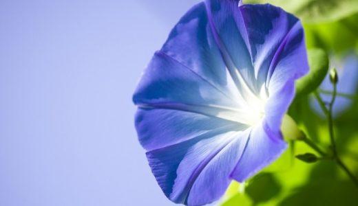 朝顔の花言葉が怖い!青や紫、白など色や種類別に20個!!