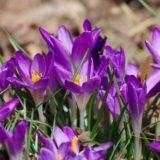 crocus-purple