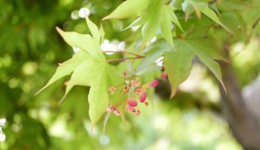 楓の花言葉の意味が怖い?名前の由来や紅葉(モミジ)との違い!!
