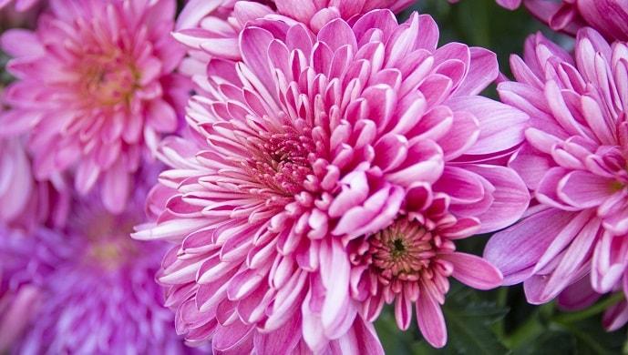 ピンク色の菊の花