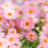 marguerite-pink