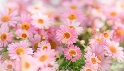 マーガレットの花言葉と由来!白や赤、ピンクなどの色別も徹底紹介