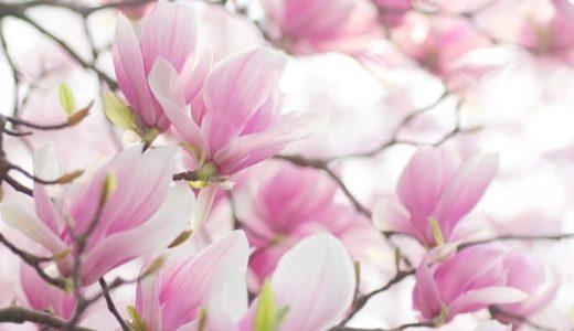 木蓮の花言葉と由来!白や紫など色別で14の意味を紹介!!