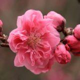 momo-pink