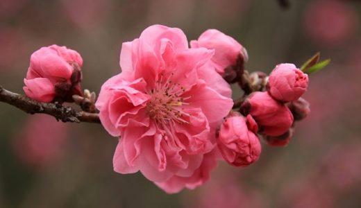 桃の花言葉の意味は怖い?ひな祭りに飾られる理由も!!