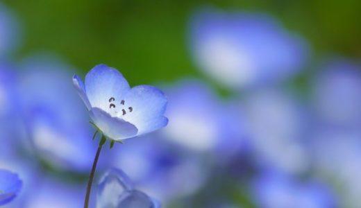 ネモフィラの花言葉と由来!青い可憐な花に込めた8の意味!!
