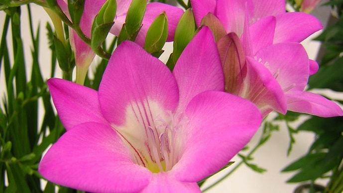 ピンク色のフリージア