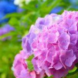 azisai-pink