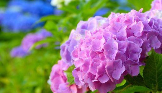紫陽花の花言葉は怖い?青や赤など色によって意味が違う!!