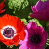 anemone-red-pink
