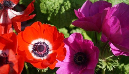 アネモネの花言葉は怖い?赤や黒など色別で26の意味を完全網羅!!