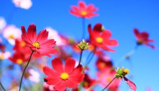 コスモスの花言葉が怖い?黒や紫など色別で20個の意味を紹介!!