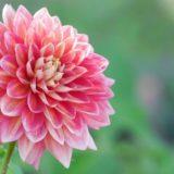 daria-flower