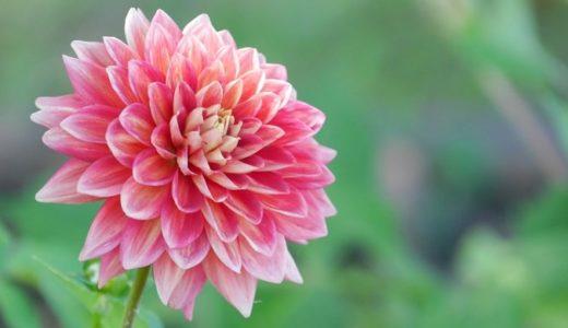 ダリアの花言葉は怖い!白・赤など色別で20の意味はコチラ