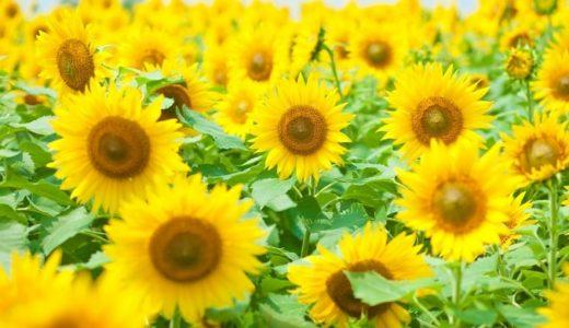 ひまわりの花言葉の意味は怖い?明るい花に隠された由来とは!?