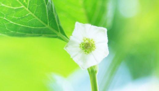 鬼灯の花言葉が怖い!実は日本では結構歴史深い花だった!?