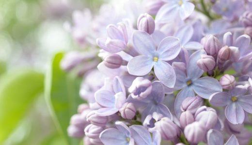 ライラックの花言葉19個!紫や白で真逆の意味だった!?