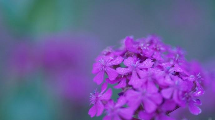 なでしこの花