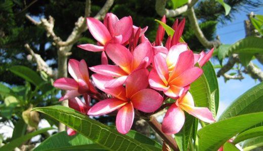 プルメリアの花言葉は怖い?ハワイの花に込められた12の意味