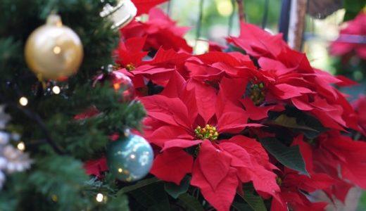 ポインセチアの花言葉!クリスマスに定番だけど知ってる?
