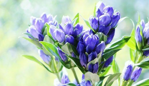リンドウの花言葉は怖い?敬老の日でに贈られる2つ理由!!