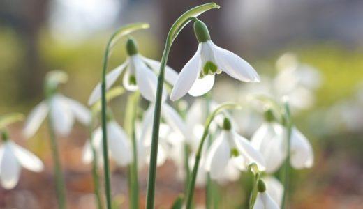 スノードロップの花言葉が怖い?知っておきたい5つの意味を紹介!!