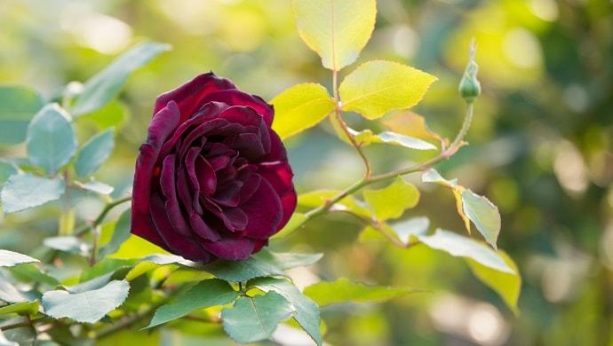 バラ 花 言葉 黒い