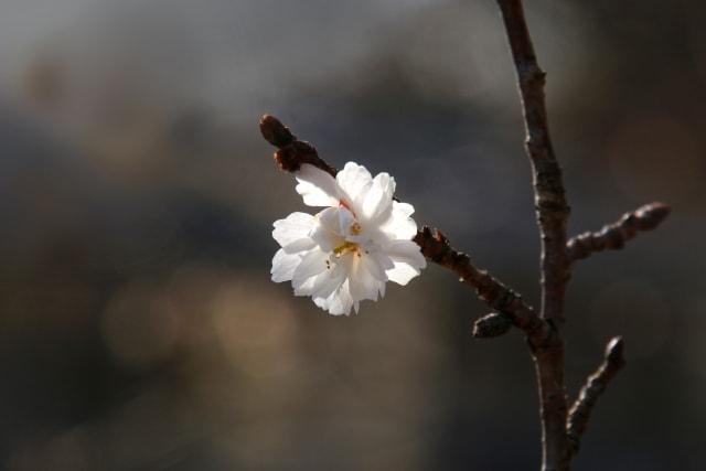 一輪の冬桜