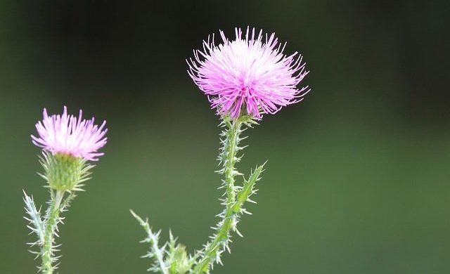 ごぼうの花