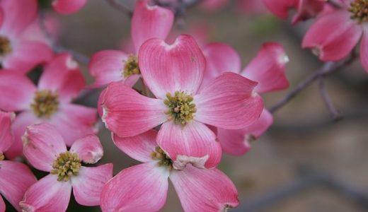 ハナミズキの花言葉の意味が怖い?ピンクや白の色別もチェック!!