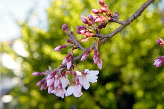 小さく咲いている彼岸桜