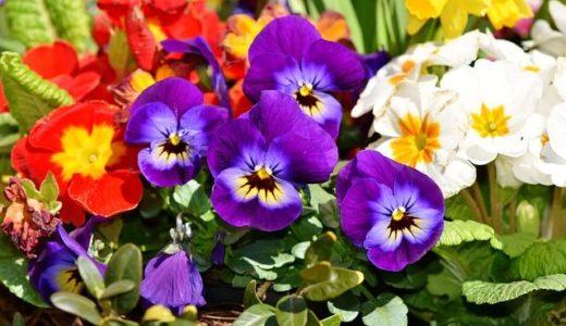 パンジーの花言葉が怖い?赤や紫など色別に12の意味を紹介!!