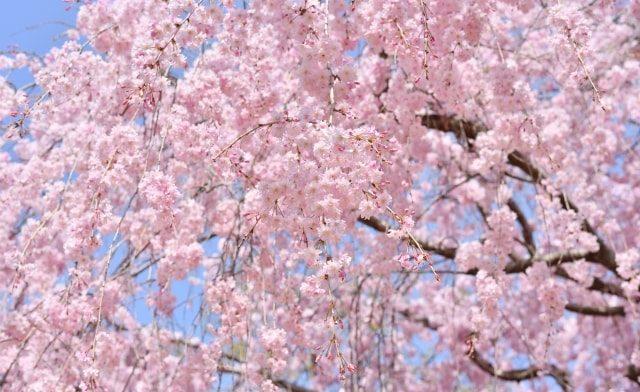 八重咲きのしだれ桜