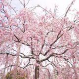 下から見るしだれ桜