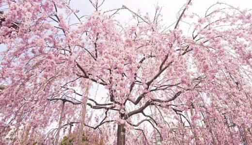 しだれ桜の花言葉の意味が怖い?知っておきたい3つの意味!!