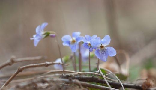 菫(スミレ)の花言葉は怖い?紫や白など色別で29個の意味を紹介!!