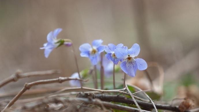 青いスミレの花
