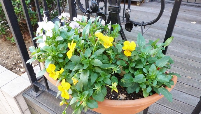 黄色いスミレの花