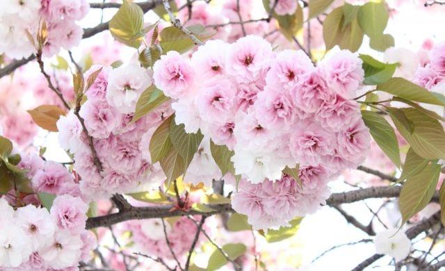 薄いピンクの八重桜