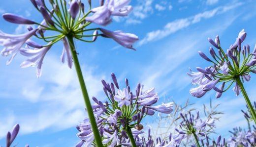 アガパンサスの花言葉と由来、白など色別で!恋に関する9つの意味