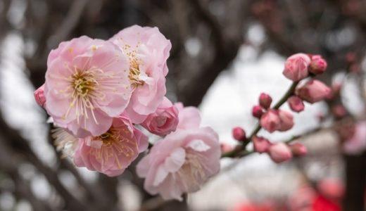 杏の花言葉の意味4つ!名前の由来や別名なども徹底解説!!