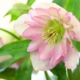christmas-rose-pink