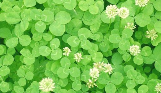 クローバーの花言葉は怖い!シロツメクサや四つ葉など20の意味