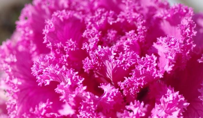 ピンク色の葉牡丹