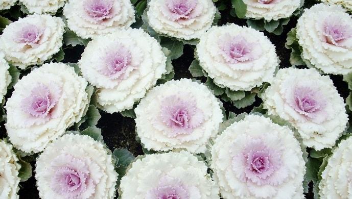 白い葉牡丹